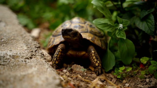 turtle walking on grass - reptile stock videos & royalty-free footage
