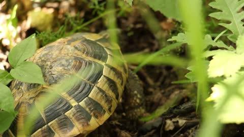 schildkröte wandert durch gras - landschildkröte stock-videos und b-roll-filmmaterial