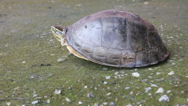 turtle walks on concrete. - animal shell stock videos & royalty-free footage