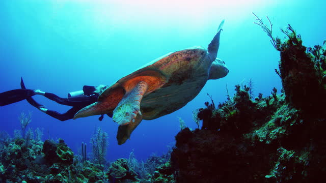 turtle with short left fin probably from shark attack, diver in the back - caretta caretta stock videos & royalty-free footage