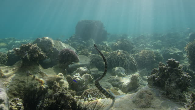 turtle-headed sea snake  and coral - hard coral stock videos & royalty-free footage