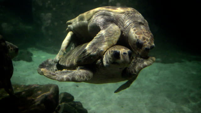 stockvideo's en b-roll-footage met turtles are mating - dierentuin