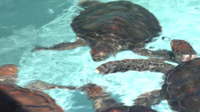 turtles at ogasawara marine center, japan - loggerhead sea turtle stock videos & royalty-free footage