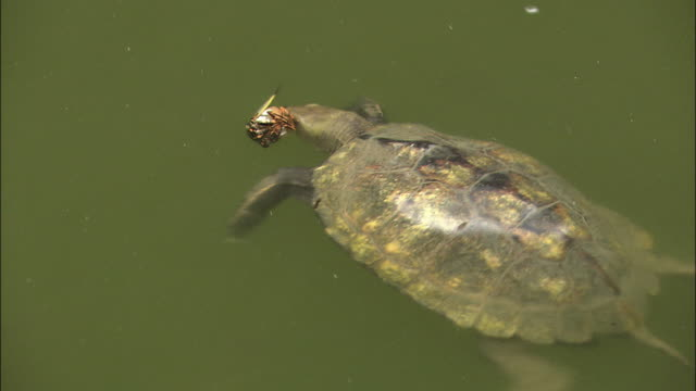 Turtles Competing For Cicada To Eat