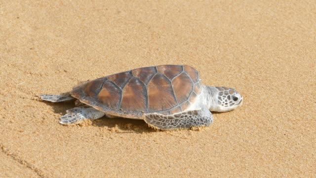 sköldpaddorna kryper till frihet - sköldpadda bildbanksvideor och videomaterial från bakom kulisserna