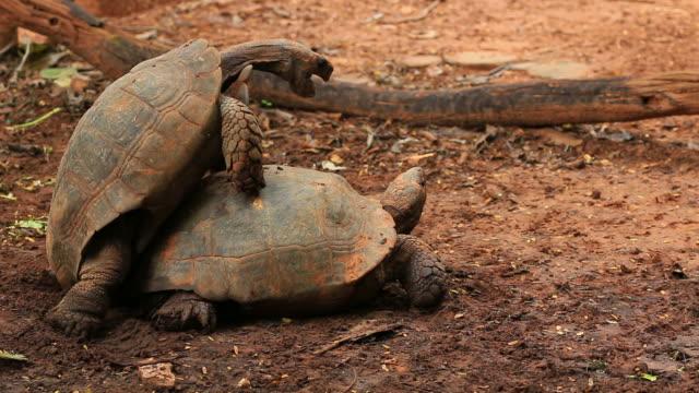 Video e riprese extra di accoppiamento animale getty images for Accoppiamento tartarughe