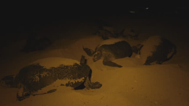 turtles nesting on beach at night - green turtle stock videos and b-roll footage