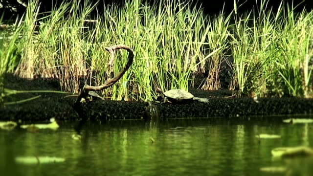 turtles on lotus pond in japan sunbathing - anamorphic stock videos & royalty-free footage