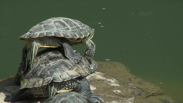 ms turtles playing in central park, hong kong, china - turtle stock videos & royalty-free footage