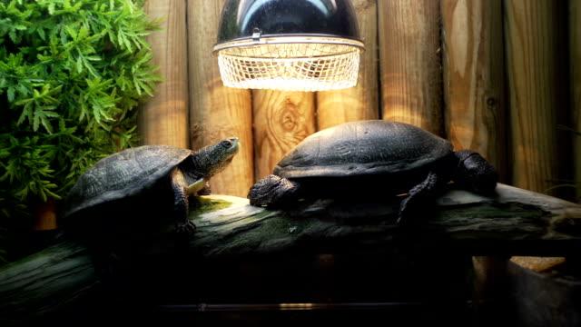 vídeos de stock e filmes b-roll de tartarugas - réptil
