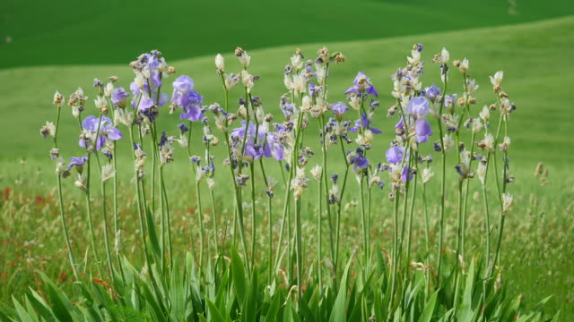 tuscany, lilac / lavander iris plant and flowers on a series of green hills background - iris plant stock videos & royalty-free footage