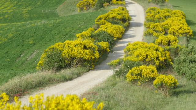 Tuscany, the yellow flowers dirt road and the country houses.