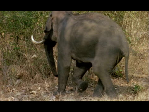 Tusked Asian Elephant (Elephas maximus) turns and runs off, Kolchi Waterhole, Nagarahole, India