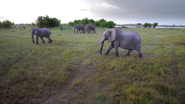 tuskers on the march - herd stock videos and b-roll footage