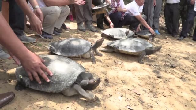 twenty critically endangered royal turtles are released into a remote stretch of a cambodian river a species once feared extinct because of hunting... - trafficking stock videos & royalty-free footage