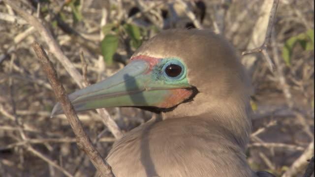 vídeos y material grabado en eventos de stock de a twig casts a shadow on a red-footed booby. available in hd. - alcatraz patirrojo