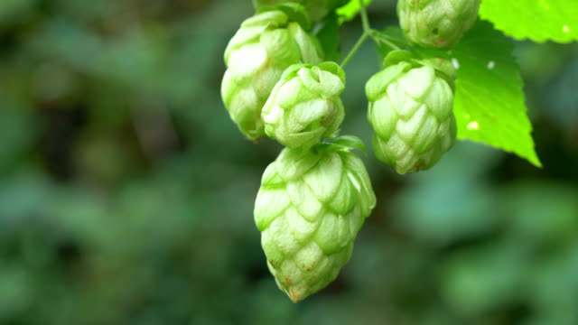 twig of hops on the plantation in 4k - pinecone stock videos & royalty-free footage