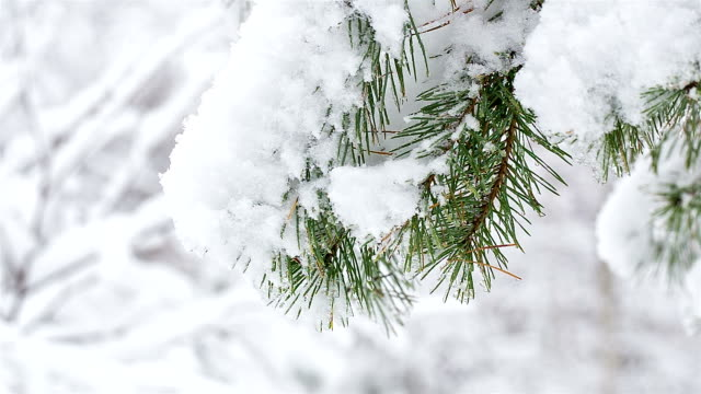 Twig of pine in the snow.