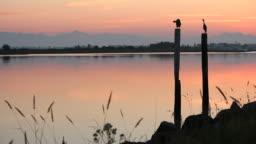 Twilight Herons on Pilings Preening by River
