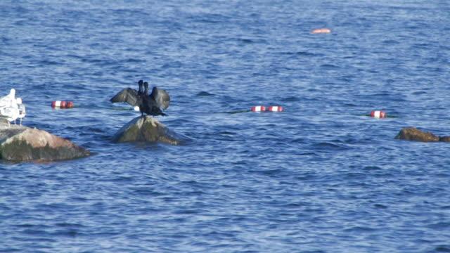 vídeos de stock e filmes b-roll de twin cormorants-hd 30f - quatro animais