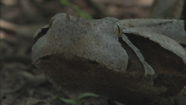 twin horns jut from the nose of a gaboon viper. - horned stock videos & royalty-free footage