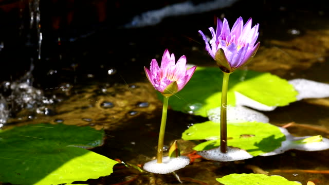 twin lotus purple with water drop background - lily stock videos & royalty-free footage