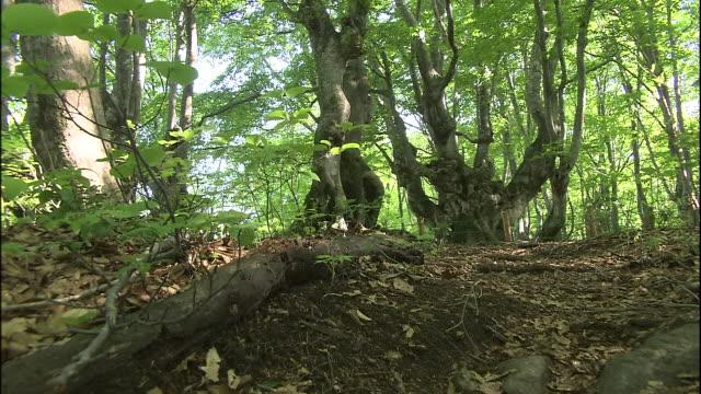 vídeos de stock, filmes e b-roll de a twisted old japanese beech tree called agariko daio grows in the forest of mt. chokai, japan. - faia árvore de folha caduca