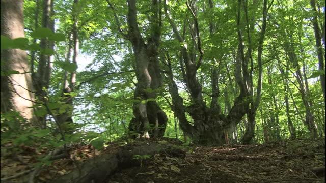 a twisted old japanese beech tree called agariko daio grows in the forest of mt. chokai, japan. - 鳥海山点の映像素材/bロール