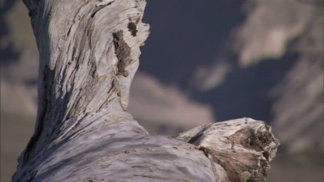 a twisted, weathered tree trunk resembles a human profile. - weathered stock videos & royalty-free footage