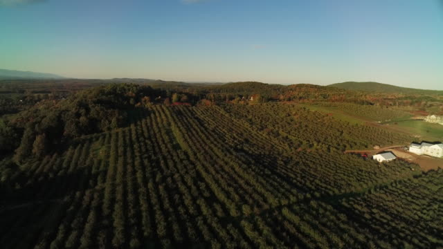 Twisting aerial view over perfect rows of trees