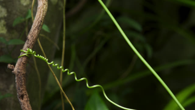 tl twisting tendril of climbing passionflower vine, uk - vine stock videos & royalty-free footage
