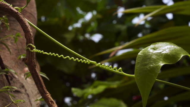TL Twisting tendril of climbing passionflower vine, UK