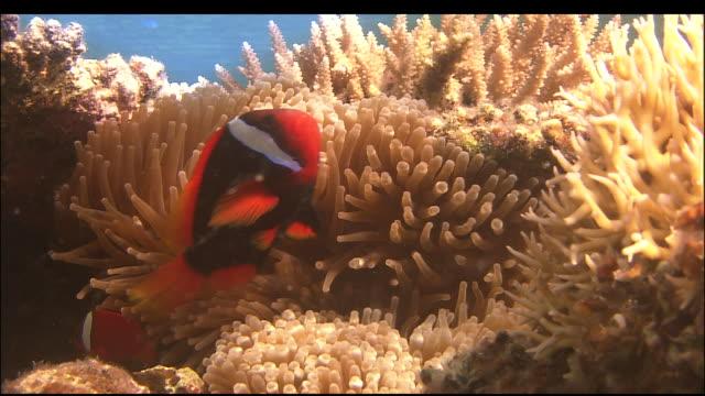 Twitcher fish swim amongst coral, Kerama Islands, Okinawa, Japan, Diving Shot