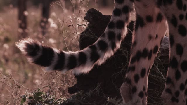 twitching tail of cheetah on savannah, zimbabwe - tail stock videos & royalty-free footage