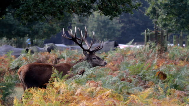 autumn stag roaring in rut 2012 hd video - deer stock videos & royalty-free footage