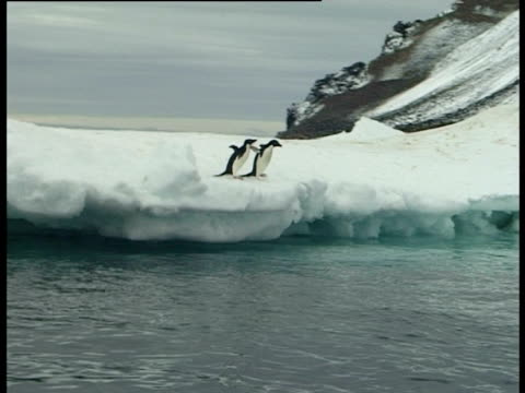 two adelie penguins (pygoscelis adeliae) diving into water, paulet island, antarctic peninsula, antarctica - waddling stock videos and b-roll footage