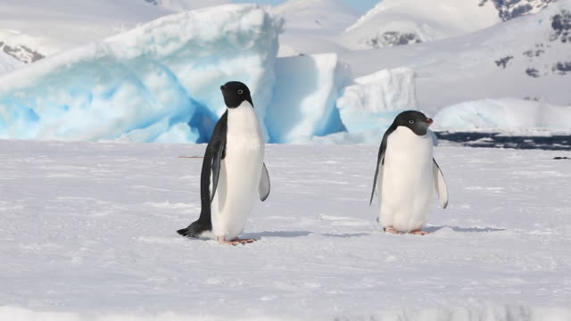 Two Adelie Penguins on an ice floe