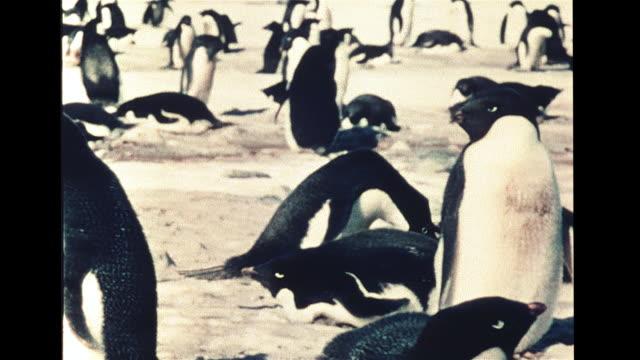 ws two adelie penguins one waddle walking other tobogganing on ice xws rookery vs penguins building nest w/ rocks mates on nest aggressive pushing... - 押す点の映像素材/bロール