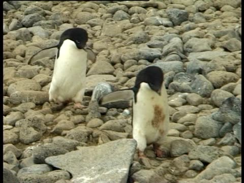 two adelie penguins (pygoscelis adeliae) walking over stones, paulet island, antarctic peninsula, antarctica - waddling stock videos and b-roll footage