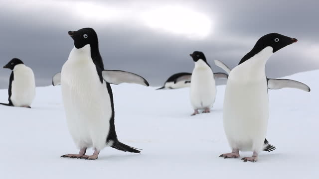 Two Adelie Penguins waving flippers in slow-motion