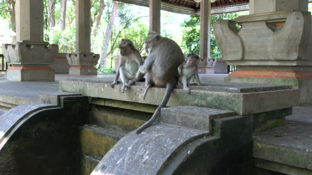 two adult balinese long-tailed monkey and one baby monkey at the ubud monkey forest, ubud, indonesia - temple body part stock videos and b-roll footage