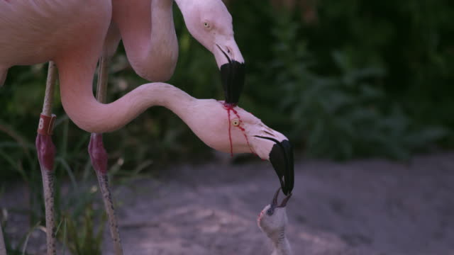 two adult flamingos trying to feed the same chick with red crop milk - flamingo bird stock videos & royalty-free footage