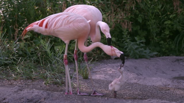 two adult flamingos trying to feed the same chick with red crop milk - flamingo chick stock videos & royalty-free footage