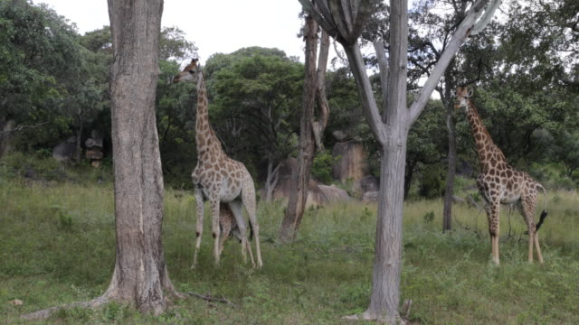 Two adult giraffes and a calf standing among trees waving their tails and feeding on trees