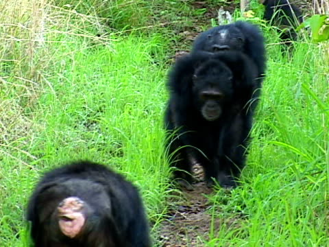 ws zi ms two adult male chimpanzees walking through grass in gombe stream national park / tanzania - cinque animali video stock e b–roll