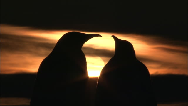 ms two adult penguins at dusk / ekstrã¶m ice shelf,atka iceport emperor penguin colony,  queen maud land, antarctica - antarctica sunset stock videos & royalty-free footage
