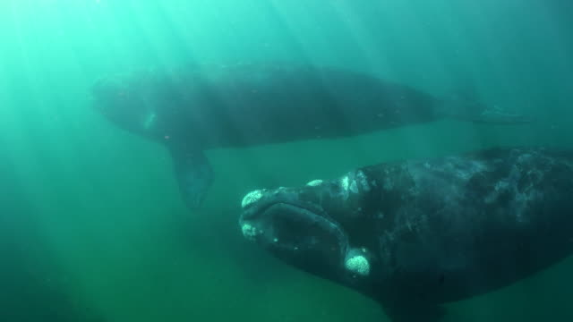 Two adult southern right whales swim past the camera in shallow water, Nuevo Gulf, Valdes Peninsula.