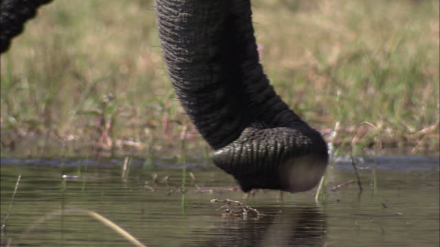 vídeos y material grabado en eventos de stock de two african elephant trunks curl up and down and gather water. available in hd. - zoología