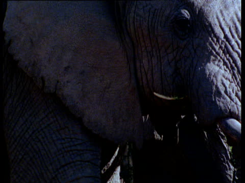 two african elephants browse on acacia tree - futter suchen stock-videos und b-roll-filmmaterial