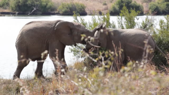 Two African Elephants by waters edge, South Africa